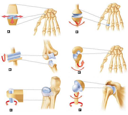 Art Labeling Quiz A temporary synchondrosis is the epiphyseal. art labeling quiz
